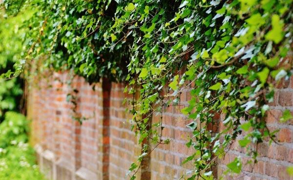 Mur habillé de lierre grimpant qui, après être grimpé d'un côté, redescend de l'autre côté au fur et à mesure de sa croissance !