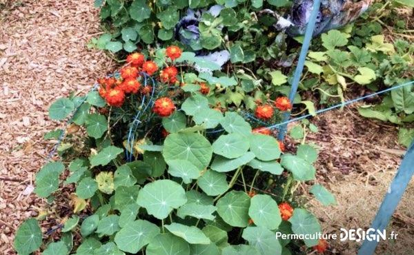 Association de cultures potagères et fleurs dans le jardin familial de Sébastien: ici des capucines et des œillets d'Inde, deux fleurs à la fois belles et très utiles au potager en permaculture. La capucine, comestible, attire aussi les pucerons et donc les coccinelles, éloigne également certaines punaises ravageuses des petits fruits rouges. L'œillet d'Inde, lui, attire les pollinisateurs et éloigne les nématodes, très utiles en association avec les tomates par exemple !