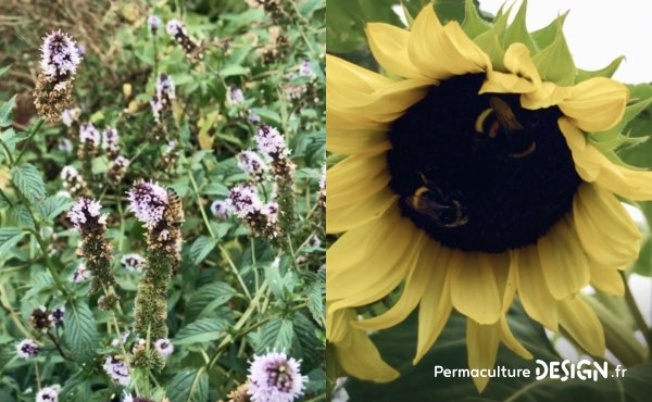 Grâce aux fleurs, les pollinisateurs sont au rendez-vous dans le potager en permaculture de Sébastien !