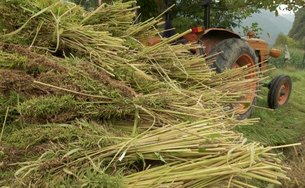 Chanvre fraîchement récolté au champ en vue de la fabrication de paille de chanvre.