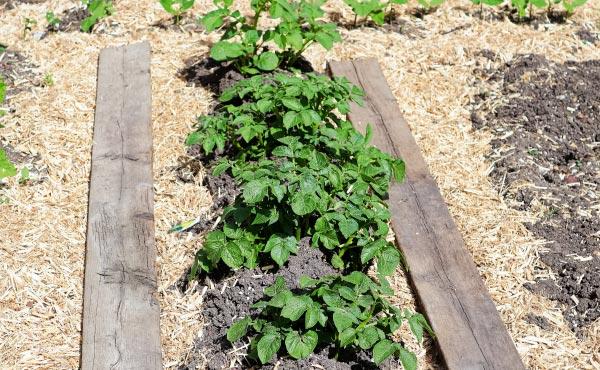 Le paillage de chanvre du potager présente de nombreux avantages.