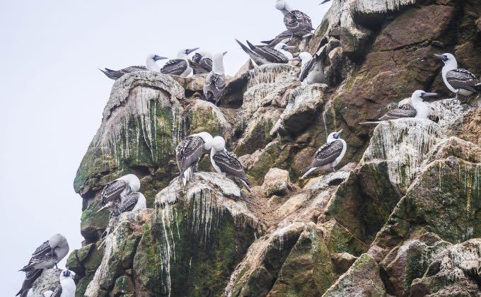 Le guano d'oiseaux marins, ici des fous variés (Sula variegata), a fait l'objet d'une exploitation massive et dévastatrice pendant des dizaines années.