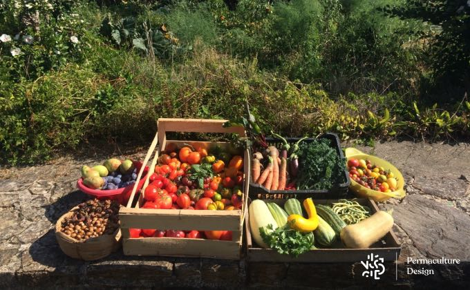 Jolie récolte, notamment de légumes gourmands, au potager en permaculture !