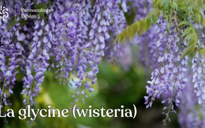 La glycine (Wisteria): plantation, taille, bouture, culture en pot