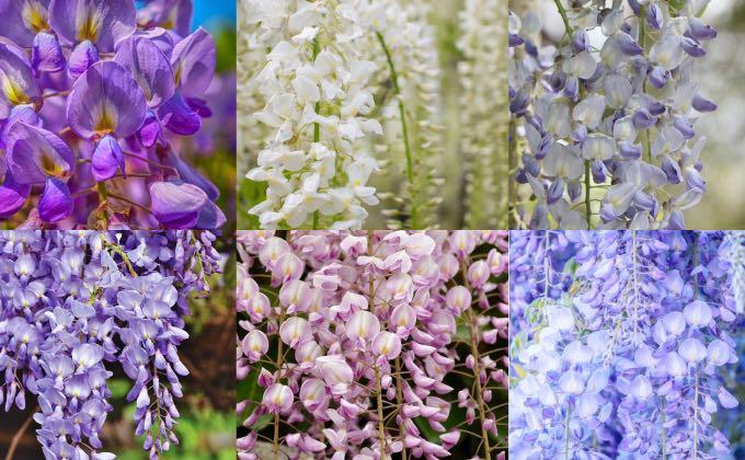 La glycine nous offre un éventail de tons et couleurs possibles avec des floraisons tellement belles qu'il serait dommage de s'en priver !
