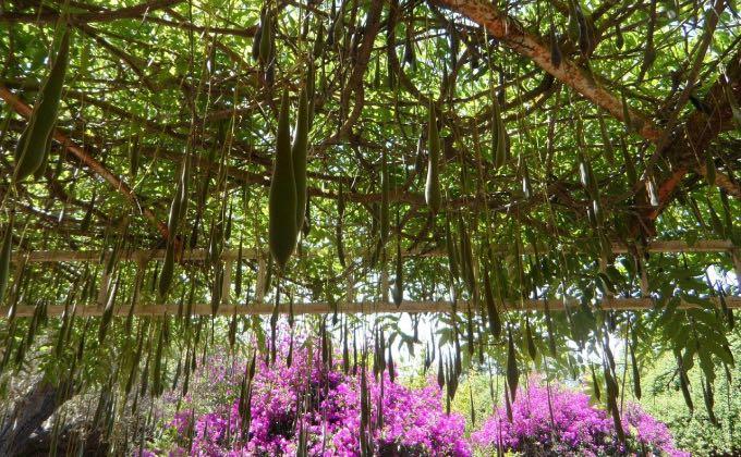 Une abondance de gousses suit la floraison de la glycine.