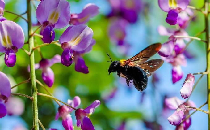 Gros plan sur de magnifiques fleurs de glycine qui attirent un grand nombre de pollinisateurs et notamment des hyménoptères !