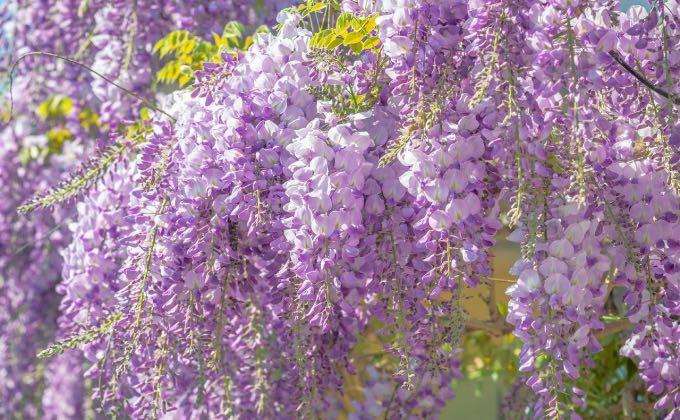 Exemple de glycine de Chine, Wisteria sinensis, en pleine floraison diffusant un parfum délicieux.