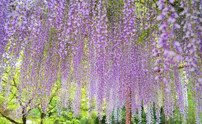 Exemple de glycine du Japon, Wisteria floribunda, à la floraison plus tardive et moins odorante que celle de Chine.