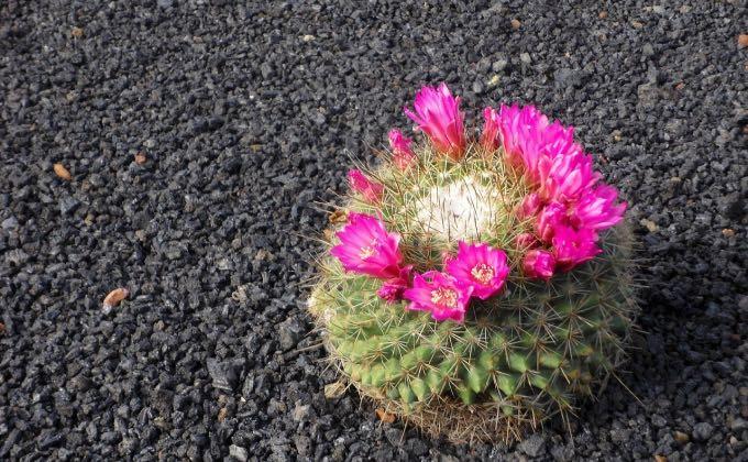 Cactus paillé à la pouzzolane noire, une roche légère et poreuse d'origine volcanique.