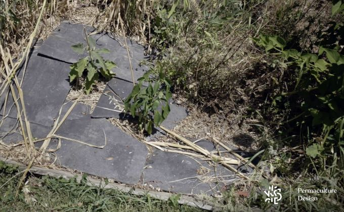 Expérimentation de paillage d'ardoise autour de plants d'aubergine et de poivron chez Romain pour profiter de la chaleur accumulée par l'ardoise aux pieds de ces légumes.