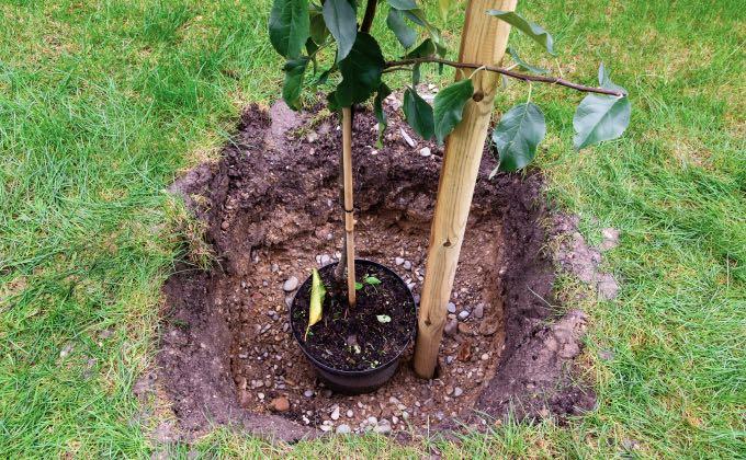 On vous recommande de faire un trou d'un volume 2 à 3 fois plus grand que le contenant à planter et de préférence carré pour éviter que les racines continuent de «tourner en rond» !