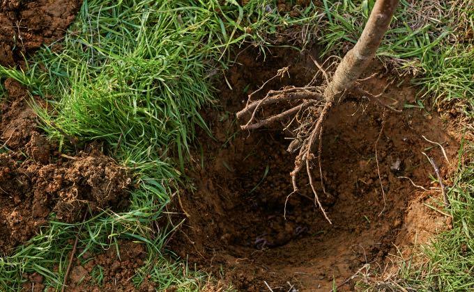 Les arbres et arbustes à racines nues se plantent de novembre à mars, hors période de gel.
