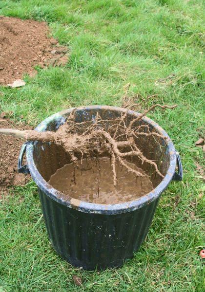 Exemple de pralinage d'un arbre à racines nues avant plantation. ©wisemandarine - CC BY-SA 2.0