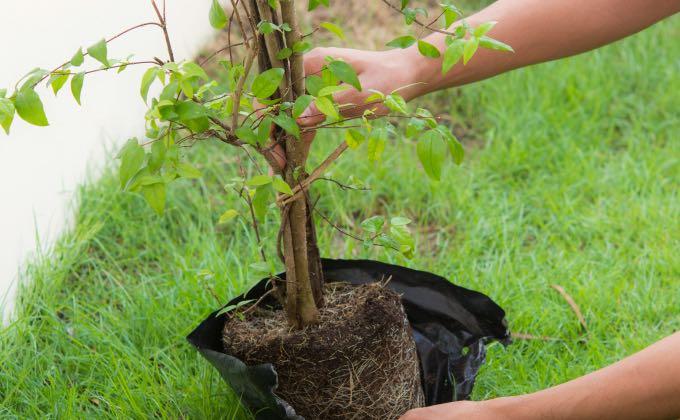 Les végétaux en conteneur développent souvent un chevelu racinaire très dense à «démêler» et «rafraichir» en le coupant partiellement pour favoriser la pousse de nouvelles racines !