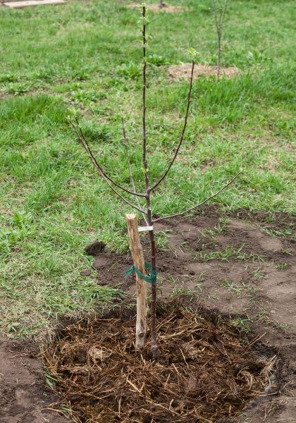 Plantation terminée : le tuteur est en place, la cuvette d'arrosage formée et recouverte de paillage.