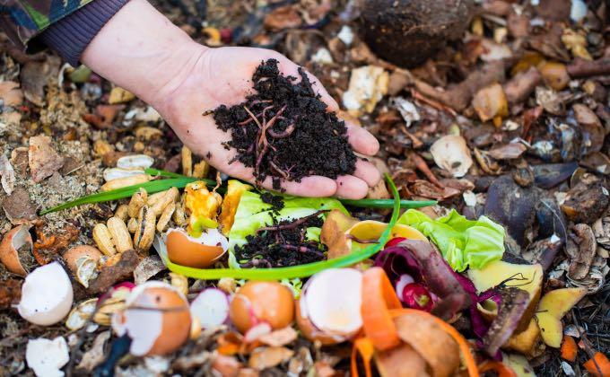 Après plusieurs mois de décomposition par les vers du compost notamment, on obtient un compost mûr bien noir à l'odeur de sous bois, idéal pour enrichir un sol potager par exemple !