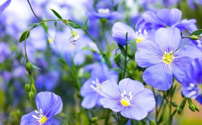 Fleurs bleues de lin cultivé - Linum usitatissimum.