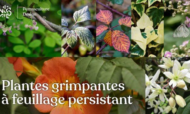 Plante grimpante à feuillage persistant : notre sélection