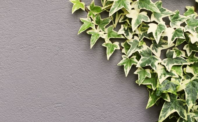 Avec ses racines crampons, le lierre est une plante grimpante formidable, capable de grimper sur une surface même lisse assez rapidement en toute autonomie !