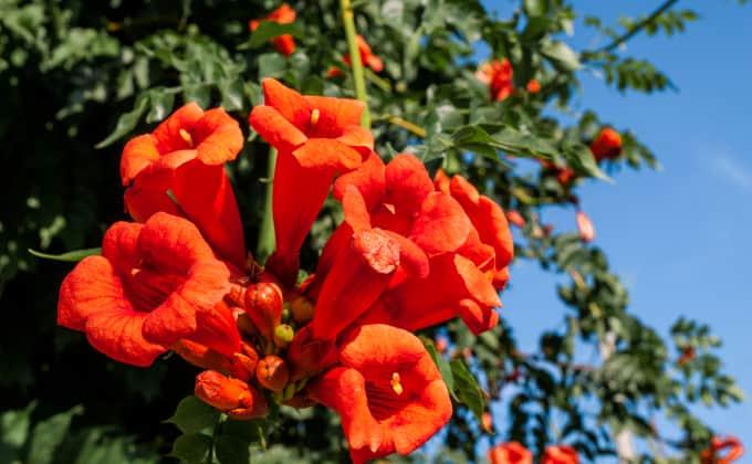 Magnifique floraison en trompette de la bignone, une plante grimpante dont le feuillage est semi-persistant dans les régions au climat doux.
