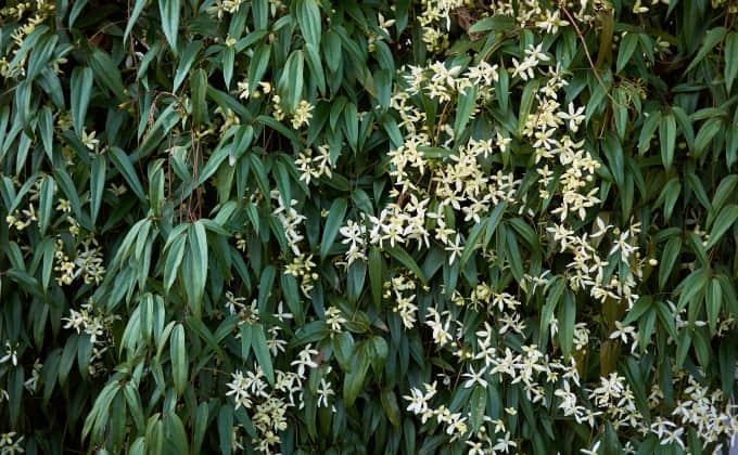 Une clématite d'Armand, avec sa jolie floraison blanche et son feuillage persistant vert profond, est parfaite pour habiller un mur disgracieux !