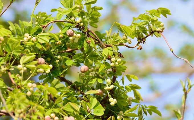 Akébie à cinq feuilles dont les fleurs sont sur le point d'éclore. Cette plante grimpante aura le feuillage semi-persistant dans les régions aux hivers doux.