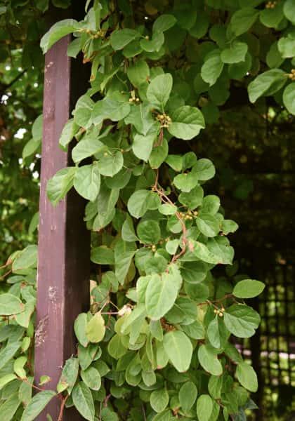 Le bourreau des arbres : plante grimpante adaptée à l'ombre extrêmement vigoureuse.