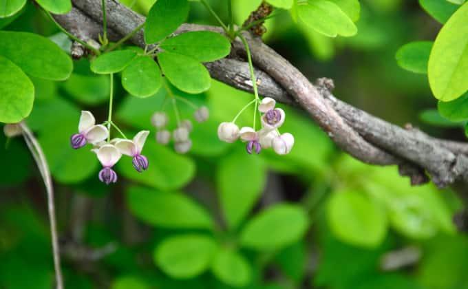 L'akébie à cinq feuilles : plante grimpante adaptée à une ombre «lumineuse».