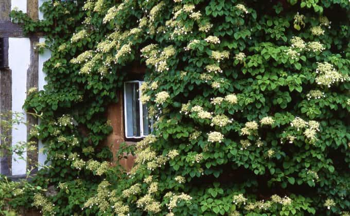L'hortensia grimpant : plante grimpante adaptée à la mi-ombre.