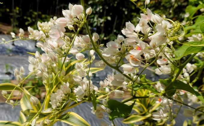 La renouée d'Aubert : plante grimpante adaptée à la mi-ombre très mellifère.