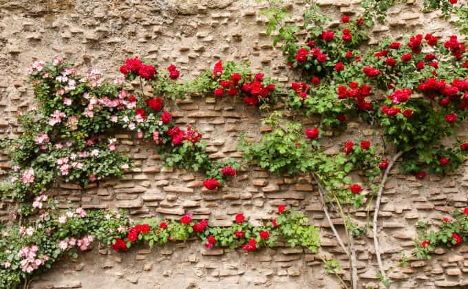 Les rosiers grimpants : plantes grimpantes adaptées au plein soleil.