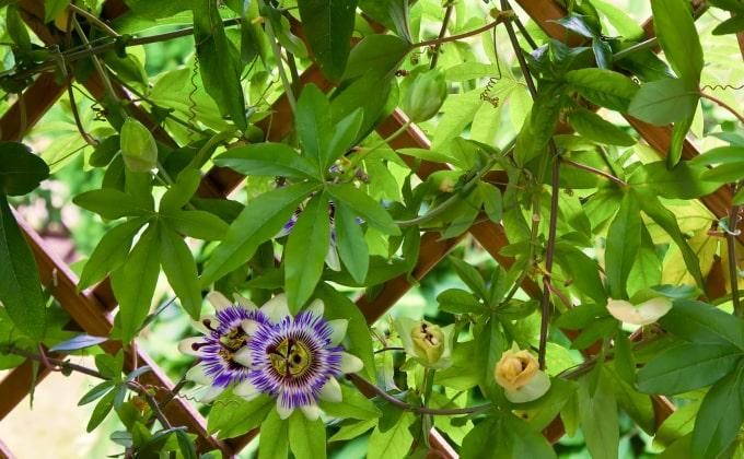 Plante grimpante exubérante à la floraison extraordinaire : la passiflore caerulea ou passiflore bleue.