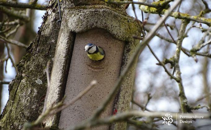 Cette mésange bleue a trouvé le nichoir où elle va s'installer pour la saison de reproduction !