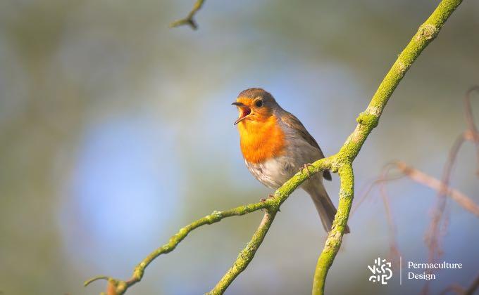Rouge-gorge chantant au début de printemps !