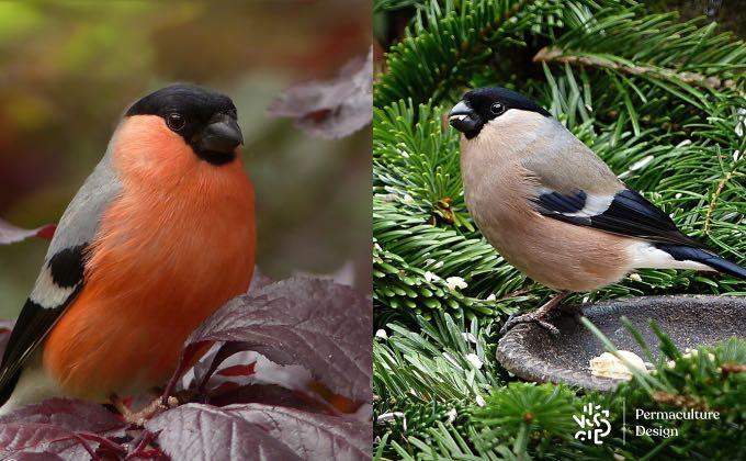 À gauche, un bouvreuil pivoine mâle avec son plumage flamboyant pour séduire madame. À droite, la femelle plus discrète pour ne pas attirer les prédateurs !