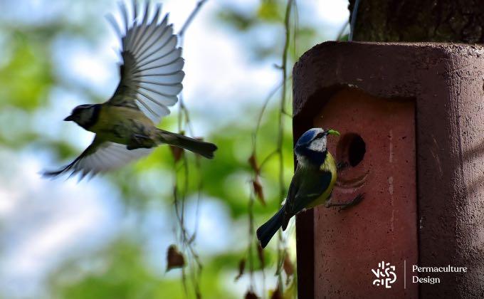 Va-et-vient incessant d'un couple de mésanges bleues pour nourrir les petits.